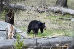 Wyoming(Ursus americanus)Image No: 18-012136  Click HERE to Add to Cart