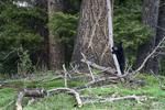 Wyoming(Ursus americanus)Image No: 18-012447  Click HERE to Add to Cart