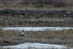 Manitoba, Canada(Pluvialis squatarola)Image No: 17-010207Click HERE to Add to Cart