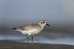 Laguna Madre Bay, Texas(Pluvalis squatarola)Image No: 18-000722 Click HERE to Add to Cart