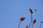 Arizona(Selasphorus platycercus) Image No: 20-003715  Click HERE to Add to Cart