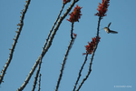 Tucson, Arizona, USA(Selasphorus platycercus)Image No: 20-003736Click HERE to Add to Cart