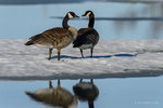 Manitoba, Canada(Branta canadensis)Image No: 17-011253  Click HERE to Add to Cart