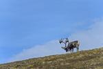 Alaska(Rangifer tarandus)Image No: 16-308898  Click HERE to Add to Cart