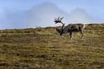 The Alaska Range, Alaska(Rangifer tarandus)Image No: 16-308922  Click HERE to Add to Cart