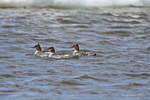 Manitoba, Canada(Mergus merganser)Image No: 17-012180  Click HERE to Add to Cart