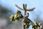 Arizona(Toxostoma curvirostre)Image No: 19-002331   Click HERE to Add to Cart