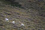 The Alaska Range, Alaska(Ovis dalli)Image No: 16-309017  Click HERE to Add to Cart