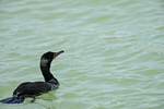 Florida(Phalacrocorax auritus)Image No: 13-009267 Click HERE to Add to Cart