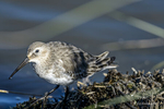 New Orleans, LA(Calidris alpina)Image No: 13-038665 Click HERE to Add to Cart