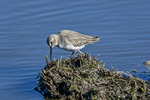 New Orleans, LA(Calidris alpina)Image No: 13-038658 Click HERE to Add to Cart