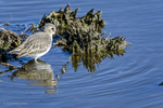 New Orleans, LA(Calidris alpina)Image No: 13-038662Click HERE to Add to Cart