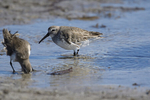 St. Petersburg, Florida(Calidris alpina) Image No: 20-000477  Click HERE to Add to Cart