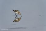 Laguna Madre Bay, Texas(Calidris alpina)Image No: 18-001101  Click HERE to ADD to Cart