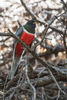 Arizona(Trogon elegans) Image No: 20-001993  Click HERE to Add to Cart