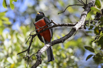 Arizona(Trogon elegans) Image No: 20-002021  Click HERE to Add to Cart