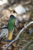 Arizona(Trogon elegans) Image No: 20-002058  Click HERE to Add to Cart