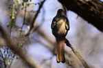 Arizona(Trogon elegans) Image No: 20-002226 Click HERE to Add to Cart