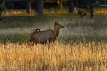 Golden, Colorado(Cervus canadensis)Image No: 18-018565  Click HERE to Add to Cart