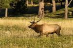 Golden, Colorado(Cervus canadensis)Image No: 18-018340  Click HERE to Add to Cart