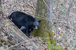 Tennessee(Ursus americanus)Image No: 13-039088  Click HERE to Add to Cart