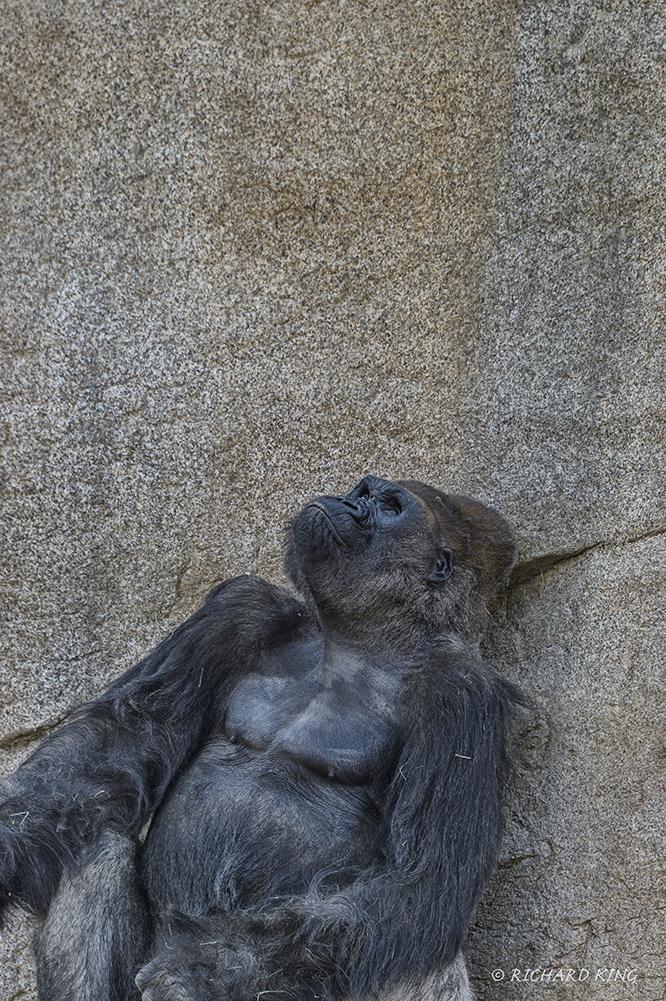 San Diego, CA(Gorilla gorilla)Image No: 15-054096    Click HERE to Add to Cart