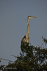 Great Blue Heron (Ardea herodias) at the top of a tree with his long neck fully extended upwards.