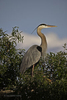 Venice, Florida(Ardea herodias)Image No: 12-012380Click HERE to Add to Cart