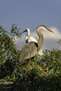 Venice, Florida(Ardea herodias)Image No: 12-012375Click HERE to Add to Cart