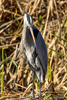 Texas(Ardea herodias)Image No: 18-000465   Click HERE to Add to Cart