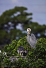 Great Blue Heron (Ardea herodias) stands in his nest with his three fledgelings.