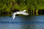 Florida(Ardea alba egretta)Image No: 13-010789 Click HERE to Add to Cart