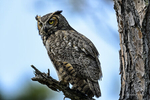 Florida(Bubo virginianus)Image No: 13-009723  Click HERE to Add to Cart