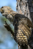 Florida(Bubo virginianus)Image No: 13-009752Click HERE to Add to Cart
