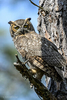 Florida(Bubo virginianus)Image No: 13-009756Click HERE to Add to Cart