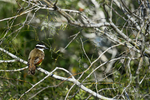 Texas(Pitangus sulphuratus)Image No: 19-000414   Click HERE to Add to Cart