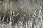 Texas(Pitangus sulphuratus)Image No: 18-002535  Click HERE to Add to Cart