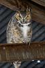 Arizona(Bubo virginianus)Image No: 18-002622  Click HERE to Add to Cart
