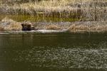 Wyoming, USA(Ursus arctos) Image No: 18-011356  Click HERE to Add to Cart