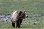 Wyoming(Ursus arctos)Image No: 17-006644  Click HERE to Add to Cart