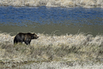 Wyoming(Ursus arctos)Image No: 17-008373  Click HERE to Add to Cart