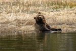 Wyoming(Ursus arctos)Image No:  18-011284  Click HERE to Add to Cart