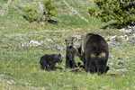Wyoming(Ursus arctos)Image No: 17-008769  Click HERE to Add to Cart