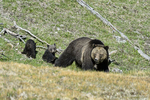 Wyoming(Ursus arctos)Image No: 17-008711  Click HERE to Add to Cart