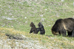 Wyoming(Ursus arctos)Image No: 17-008757 Click HERE to Add to Cart