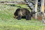 Wyoming(Ursus arctos)Image No: 17-008896 Click HERE to Add to Cart