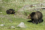 Wyoming(Ursus arctos)Image No: 17-008986  Click HERE to Add to Cart