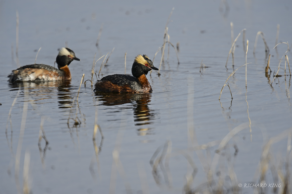 Manitoba, Canada(Podiceps auris)Image No: 13-015579  Click HERE to Add to Cart