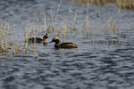 Manitoba, Canada(Podiceps auris)Image No: 13-015635  Click HERE to Add to Cart