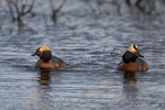 Manitoba, Canada(Podiceps auritus)Image No: 17-011584  Click HERE to Add to Cart